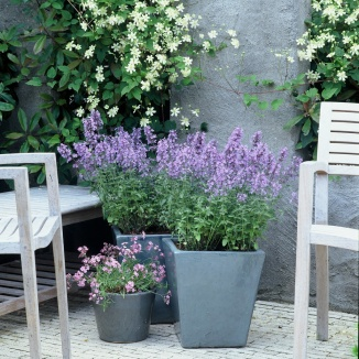 Nepeta faassenii 'Walker's Low' | Kattekruid