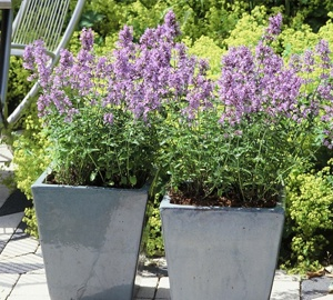 Nepeta faassenii 'Walker's Low' Kattekruid