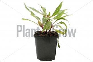 Oenothera macrocarpa | Teunisbloem (pot 9x9cm)