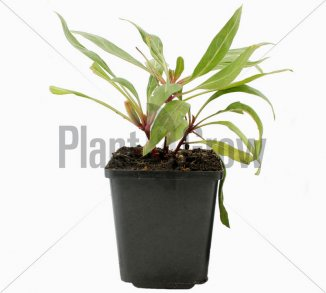 Oenothera macrocarpa Teunisbloem
