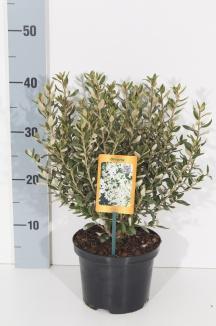 Olearia haastii | Olearia (Ø 17cm pot)