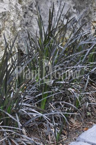 Ophiopogon planiscapus 'Niger' | Slangenbaard