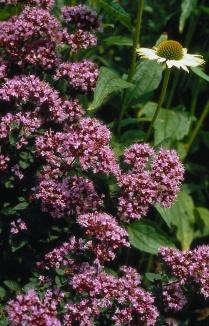 Origanum hybride 'Rosenkuppel' | Marjolein