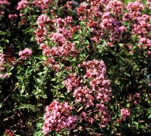 Origanum hybride 'Rosenkuppel'