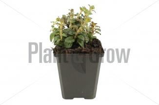Origanum hybride 'Rosenkuppel' | Marjolein (pot 9x9cm) - VOORJAAR