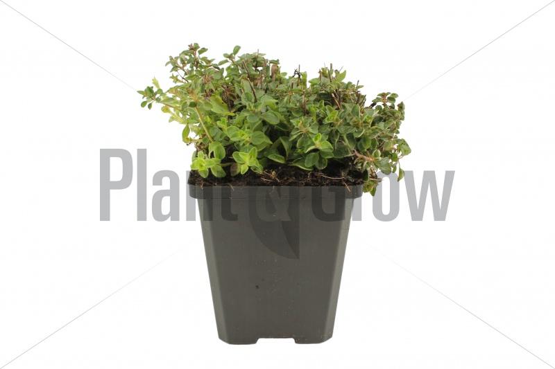 Origanum vulgare 'Compactum' | Oregano (pot 9x9cm) - NAJAAR (gesnoeid)