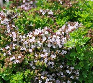 Origanum vulgare 'Compactum' Oregano