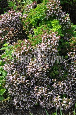 Origanum vulgare 'Compactum' | Oregano