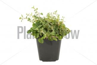 Origanum vulgare | Oregano (pot 9x9cm) - VOORJAAR