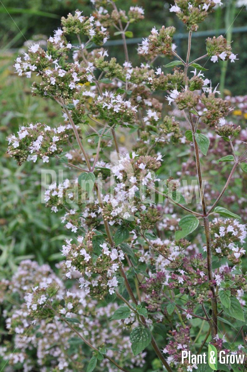 Origanum vulgare | Oregano