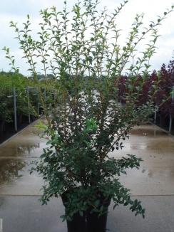 Osmanthus burkwoodii | Schijnhulst (12L pot)