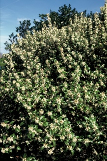 Osmanthus burkwoodii | Schijnhulst
