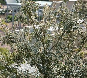 Osmanthus burkwoodii Schijnhulst