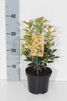 Osmanthus heterophyllus 'Goshiki' | Schijnhulst (Ø 14cm pot)