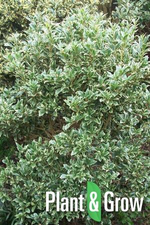 Osmanthus heterophyllus 'Variegatus' | Schijnhulst