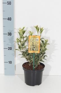 Osmanthus heterophyllus 'Variegatus' | Schijnhulst (Ø 14cm pot)