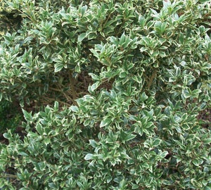 Osmanthus heterophyllus 'Variegatus' Schijnhulst
