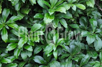 Pachysandra terminalis 'Green Carpet' | Schaduwkruid