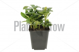 Pachysandra terminalis 'Green Carpet' | Schaduwkruid (pot 9x9cm) - VOORJAAR