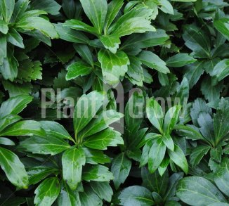 Pachysandra terminalis 'Green Carpet' Schaduwkruid