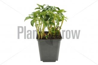 Pachysandra terminalis 'Green Sheen' | Schaduwkruid (pot 9x9cm) - VOORJAAR
