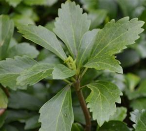 Pachysandra terminalis 'Green Sheen' Schaduwkruid
