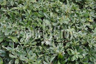 Pachysandra terminalis 'Variegata' | Bontbladige schaduwkruid