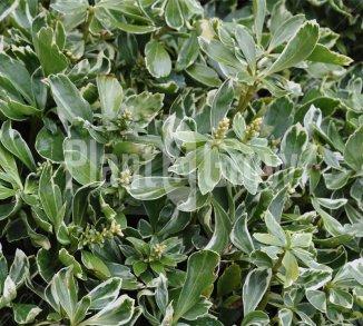 Pachysandra terminalis 'Variegata' Bontbladige schaduwkruid