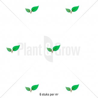 Plantafstand | Panicum virgatum 'Shenandoah'