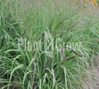 Panicum virgatum 'Shenandoah' Vingergras