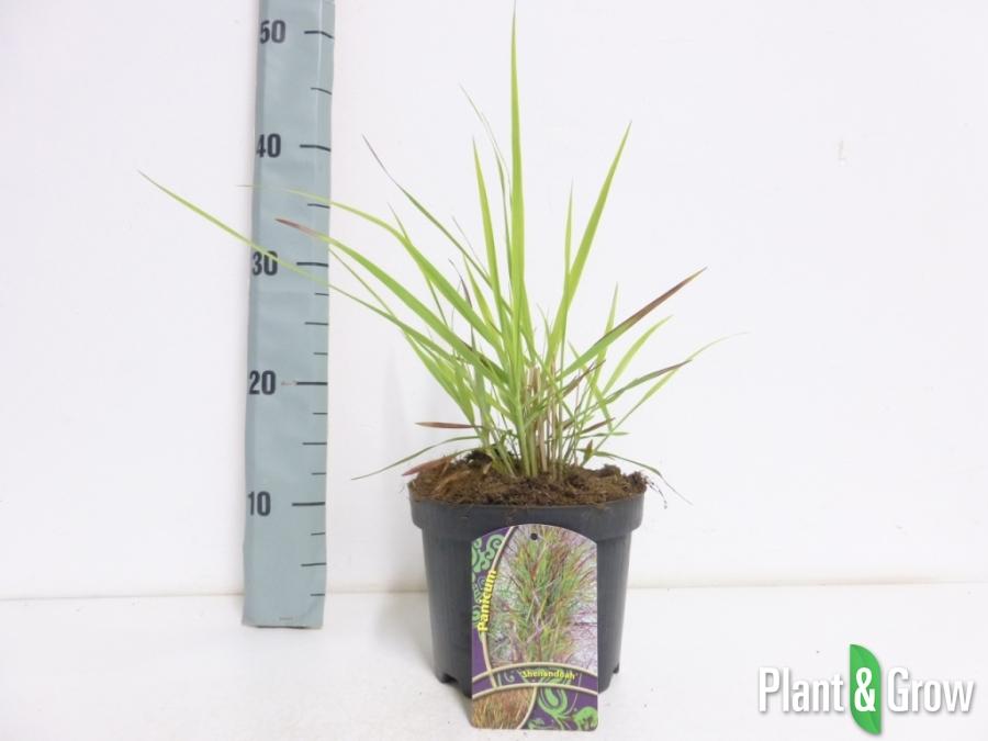 Panicum virgatum 'Shenandoah' | Vingergras (Ø 17cm pot)