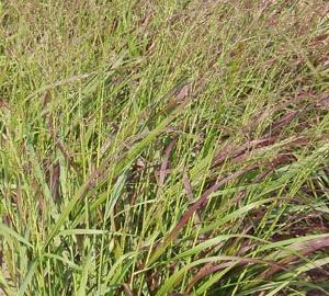Panicum virgatum 'Squaw' Vingergras