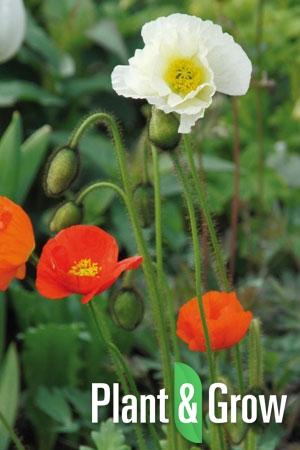 Papaver nudicaule 'Gartenzwerg' | IJslandse papaver