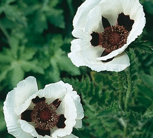 Papaver orientale 'Royal Wedding' Klaproos