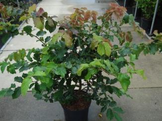 Parrotia persica | Perzisch IJzerhout (12L pot)