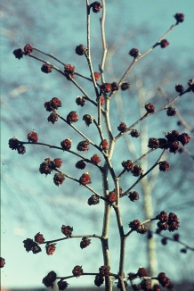 Parrotia persica | Perzisch IJzerhout