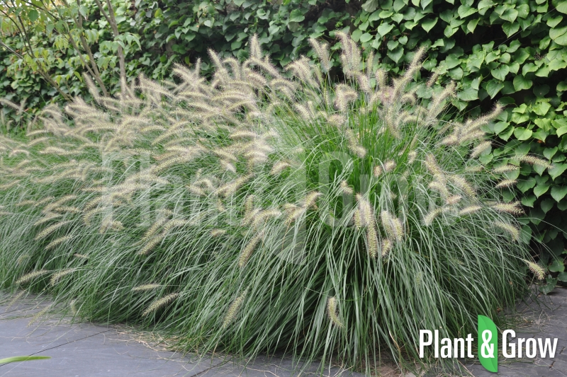 pennisetum alopecuroides 39 hameln 39 kopen plant grow. Black Bedroom Furniture Sets. Home Design Ideas