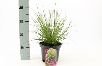 Pennisetum alopecuroides 'Hameln' | Lampenpoetsersgras (Ø 17cm pot)