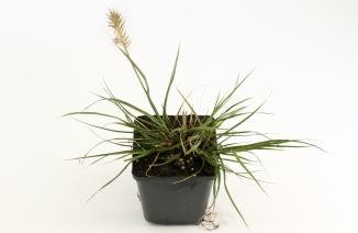 Pennisetum alopecuroides 'Hameln' | Lampenpoetsersgras (pot 9x9cm)