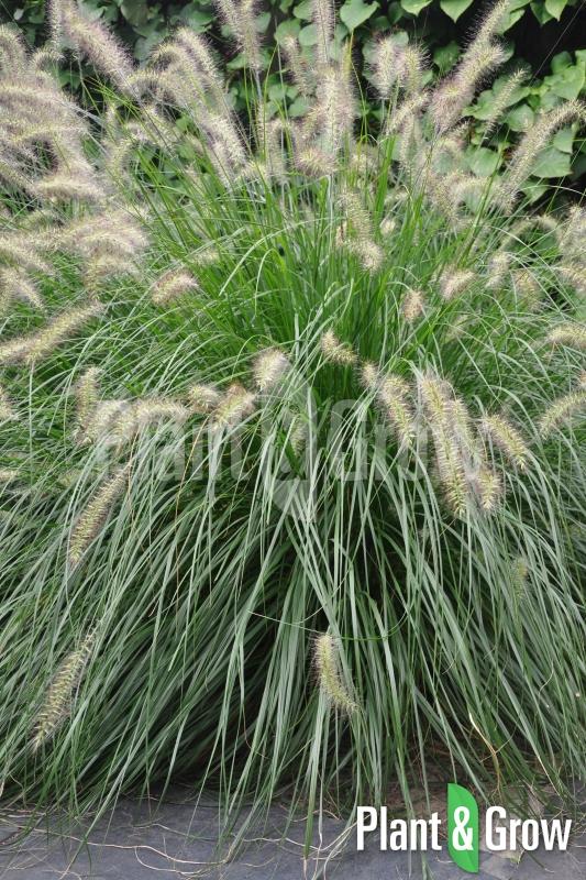 Pennisetum alopecuroides 'Hameln' | Lampenpoetsersgras
