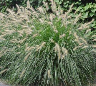 Pennisetum alopecuroides 'Hameln' Lampenpoetsersgras