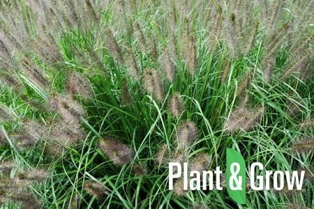 Pennisetum alopecuroides | Lampenpoetsersgras