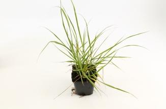 Pennisetum alopecuroides | Lampenpoetsersgras (pot 9x9cm)