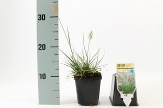 Pennisetum alopecuroides 'Little Bunny' | Lampenpoetsersgras (pot 9x9cm)