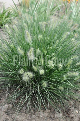 Pennisetum alopecuroides 'Little Bunny' | Lampenpoetsersgras