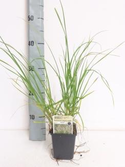 Pennisetum alopecuroides 'Magic' | Lampenpoetsersgras (pot 9x9cm)