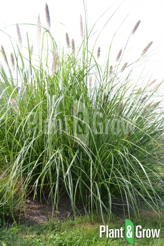 Pennisetum alopecuroides 'Magic' | Lampenpoetsersgras