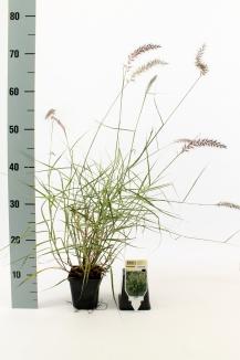 Pennisetum orientale   Lampenpoetsersgras (pot 9x9cm)