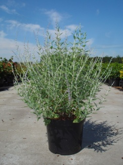 Perovskia atriplicifolia 'Blue Spire'   Reuzenlavendel (12L pot)