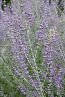 Perovskia atriplicifolia 'Blue Spire'   Reuzenlavendel